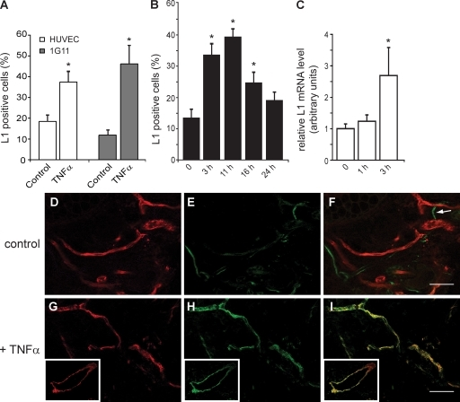 TNF-α induces L1 expression in endothelium. (A)HUVEC or 1G11 cells were starved of serum and endothelial growth factorsand then treated with 20 ng/ml TNF-α for 3 h, followed by FACSanalysis for L1 expression. (B) HUVEC were treated with 20 ng/mlTNF-α for the indicated time lengths, followed by FACSanalysis for L1 expression. The data refer to the percentage ofL1-positive cells in a representative experiment. Each experiment wasrepeated three times with similar results. (C) HUVECs were treated with20 ng/ml TNF-α for the indicated time lengths before isolationof RNA and quantitative RT-PCR analysis for L1 expression. Datarepresent the means ± SEM of three experiments performed.*, P < 0.05 (relative to untreated cells).(D–I) C57BL/6 mice (three mice per group) were subjected tosubcutaneous injection of 100 µl of either vehicle(D–F) or 40 ng/ml TNF-α (G-I) and sacrificed after16 h. Skin fragments from the injection sites were fixed and costainedfor PECAM-1 (red) and L1 (green) before confocal analysis. Insets show ablood vessel cross section with the ECs positive for both PECAM-1 andL1. The arrow in F indicates an L1-positive nerve that served as aninternal control. Bars, 40 µm.
