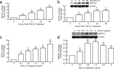 Time and dose-dependent induction of RPTP-κ by TGF-β in primary human keratinocytes. Keratinocytes were treated with vehicle (0) or TGF-β1 (2.5 ng/ml) for indicated times (a and b), or for 24 h with the indicated concentrations of TGF-β (c and d). (a and c) Total RNA was isolated and RPTP-κ and 36B4 (internal control for normalization) mRNA levels were determined by real-time RT-PCR analyses. n = 3, *p < 0.05. (b and d) Equal amounts of whole cell lysates were analyzed for RPTP-κ and β-actin (internal control for normalization) protein levels by Western blots, which were quantified by chemifluorescence, using a STORM PhosphorImager. Insets, representative Western blots. n = 3, *p < 0.05.