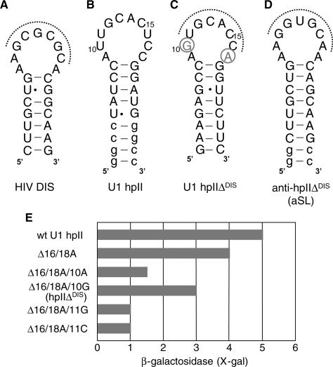 Figure 5:Identification Of Antisense RNA Stem–loops That