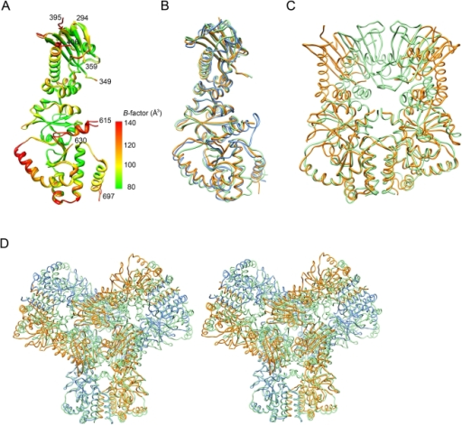 Comparison of HSP90 structures.(A) Disordered regions of MC-HSP90. The protomers A and B in the C2221 crystal are superimposed with RMSD of 0.637 Å between 367 Cα atom pairs. The residue number of N- and C-termini and the terminal ends of disordered loops in protomer A are indicated. The protein models are presented with ramped colors according to the B values. The start of the curved α-helix (α9) and the extended arm (α10) at C domain show high temperature factors. (B) The monomer structure of human MC-HSP90 (orange) is superimposed on the MC domains of closed-form yeast HSP82 (green) and open-form canine GRP94 (blue). (C) The dimer structure of human MC-HSP90 (orange) is superimposed on the MC domains of close-form yeast HSP82 (green). (D) Stereo view of superposed hexameric structures. The human MC-HSP90 hexamer and the N-terminal truncated yeast HSP82 (PDB: 2CGE) hexamer are superimposed. The protomers of Human MC-HSP90 dimer are colored in blue and orange, respectively, and six protomers of yeast HSP82 are colored in green. See Video S1 for more comprehensive aspects.