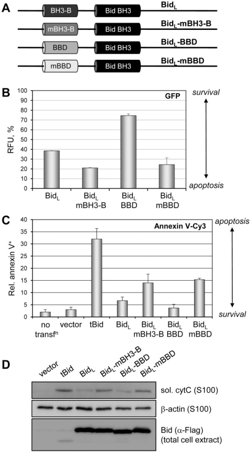 Functional equivalence of vIRF-1 BBD and Bid BH3-B.(A) Bid expression constructions were generated in which the BH3-B domain (BidL residues 33–48) was mutated [GHE41VLA (mBH3-B), BH3 refractory] or replaced with vIRF-1 BBD (residues 170–185) or substitution variant of BBD [GK179AA (mBBD)]. (B) These plasmids were individually cotransfected with GFP expression vector into HEK293T cells and after 24 h GFP fluorescence was quantified by fluorometry, providing a readout of cell viability. Relative fluorescence unit (RFU) values indicate the percentage of fluorescence relative to empty vector transfected cells (-Bid), with background, non-specific signal from untransfected cells (-GFP) subtracted. Error bars represent standard deviations from the average values derived from triplicate samples. (C) The functional equivalence of BH3-B and BBD in respect of apoptotic inhibition, specifically, was tested by using annexin V-Cy3 staining to detect HEK293T cells undergoing apoptosis at 7 h post-transfection. The inclusion of tBid expression plasmid and untransfected cultures in this experiment provided, respectively, a positive (BH3-B-deleted) control for induced apoptosis and a control for effects of transfection (by comparison to empty vector-transfected cultures). Cy3+ cells were counted from three random fields for each condition to generate the presented data; error bars show standard deviations from mean values obtained from individual fields. (D) Apoptotic inhibitory activity of vIRF-1 BBD in the context of BidL was further confirmed using a cytochrome c release assay. HEK293T cells were transfected with the indicated plasmids and harvested after 18 h. Dounce-derived extracts were either untreated or processed by centrifugation to derive total or S100 (soluble, sol.) samples for SDS-PAGE and immoblotting. Soluble sample blots were probed with antibodies specific for cytochrome c (cytC) or β-actin (loading control), and total cell extracts were probed with Flag antibody to detect and confirm expression of Flag-tagged Bid proteins.