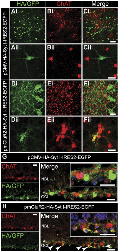 The mGluR2 promoter drives gene expression selectively in SACs.Whole-mount retinas from P0–P2 rats were double-labeled with HA (green) and ChAT (red) after 72 hr of transfection. Ai–Ci. Whole-mount retinas transfected with pCMV-HA-Syt I-IRES2-EGFP. Ai. Labeled with HA. Bi. Labeled with ChAT. Ci. Merged images of Ai and Bi. Scale bar, 50 µm. EGFP, enhanced green fluorescent protein. Aii–Cii. High magnification view of whole-mount retinas transfected with pCMV-HA-Syt I-IRES2-EGFP. Aii. Labeled with HA. Bii. Labeled with ChAT. Cii. Merged images of Aii and Bii. Scale bar, 25 µm. Di–Fi. Whole-mount retinas transfected with pmGluR2-HA-Syt I-IRES2-EGFP. Di. Labeled with HA. Ei. Labeled with ChAT. Fi. Merged images of Di and Ei. Scale bar, 50 µm. Dii-Fii. High magnification view of whole-mount retinas transfected with pmGluR2-HA-Syt I-IRES2-EGFP. Dii. Labeled with HA. Eii. Labeled with ChAT. Fii. Merged images of Dii and Eii. Scale bar, 25 µm. G–H. Retinal cross-sections transfected with either pCMV-HA-Syt I-IRES2-EGFP (G), or pmGluR2-HA-Syt I-IRES2-EGFP (H). The SACs and IPL were stained for ChAT (red). The transfected cells were stained for HA/GFP (green). The cell nuclei were stained with DAPI (blue). Right, Merged images (yellow). The transfected SACs were indicated by arrows. Insets showed the higher magnification of merged images. Scale bars, 25 µm.
