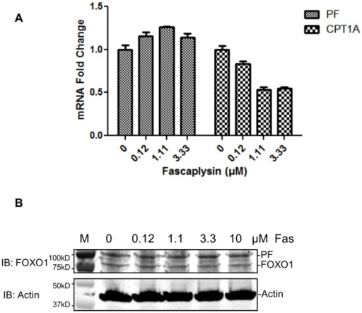 Fascaplysin treatment does not affect the levels of PAX3-FOXO1 in Rh30 cells.A) Fascaplysin reduced the mRNA levels of CPT1A but not PAX3-FOXO1 (PF) in Rh30 cells. B) Fascaplysin did not affect protein levels of PAX3-FOXO1. Top panel: Western blot using anti-FOXO1 antibody. Bottom panel: Western blot using anti-actin antibody. Cells were treated with indicated concentrations of fascaplysin (Fas) for 2 h. M, protein molecular weight marker.