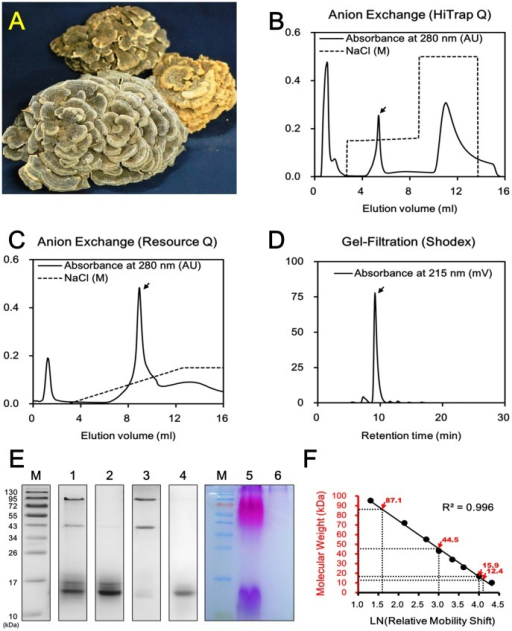 Purification and biochemical characterization of YZP.A. Fruiting bodies of Trametes versicolor (Yun-Zhi). B. Chromatogram of the crude protein extract of T. versicolor fractionated on a HiTrap Q anion exchange column. C. Chromatogram of the pooled YZP-containing fractions fractionated on a Resource Q anion exchange column. D. Chromatogram of the purified YZP samples analyzed by PROTEIN KW-802.5 SHODEX gel-filtration chromatography. E. SDS-PAGE analysis of the crude protein extracts from T. versicolor (lanes 1 and 5), the YZP-containing fraction (lane 2), non-YZP fraction (lane 3), and purified YZP (lanes 4 and 6). Lanes 1 to 4 were stained with CBR, whereas lanes 5 and 6 were stained with PAS reagent. Lane M was loaded with PageRuler Prestained Protein Ladder #SM0671. F. The calibration curve was established via linear regression of the molecular weights of the proteins present in the PageRuler Prestained Protein Ladder #SM0671 versus the nature logarithm of their relative mobility shifts. The molecular weights of T. versicolor proteins are indicated with red arrows.