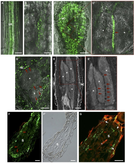 Plasmodesmata localization in Meloidogyne incognita-induced galls and Heterodera schachtii-syncytium in Arabidopsis thaliana roots. (A)In vivo localization of MP17PLRV-GFP (plasmodesmata localization marked by green fluorescence). In an uninfected root; (B) in a gall at early stage after nematode infection; and (C) in a mature gall. (C') Detail of two adjacent giant cells containing numerous PD (red arrow). (D)In vivo MP17PLRV-GFP localization between two giant cells and connecting NCs. Observations of Figures A–D were made on non- and infected material of Arabidopsis transgenic lines (35S:MP17PLRV-GFP). Non-infected roots, and galls were dissected from roots, embedded in 5% agar and fresh slices were observed using an inverted confocal microscope. (E) Cleared whole-mount gall showing the complex network of PD between giant cells. (E') Detail of giant cells containing numerous PD (red arrows). (F,G) PD (red arrows point to green fluorescence of PD) in a section of a syncytium flanked by NCs, and (F') a differential interference contrast image is presented to show syncytium tissue morphology. (G) Double localization of PD (red arrows point to green fluorescence of PD) and callose (white arrows to yellow dots). Green dots hint at open PD whereas yellow dots suggest that solute transport can be blocked by callose in syncytia. UR, uninfected root; n, nematode; NC, neighboring cells; Asterisk, giant cell; S, syncytium. Bars = 50 μm.