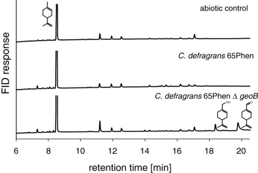 GC chromatogram of metabolite accumulation. Extracts of nitrate-limited cultures were obtained from the primary stationary phase of cultures grown with 20 mM acetate as co-substrate and 3 mM (R)-(+)-limonene.