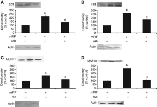 Western blots showing expression of the proteasome 20S α-subunit (A), 19S subunit (B), MuRF1 (C) and MAFbx (D) in human myotubes after treatment with murine PIF (4.2 nM) for 24 h in the absence or presence of the anti-mPIFR antibody (5 μg ml−1) added 2 h prior to the PIF. Actin was used as loading control. The densitometric analysis is based on three separate western blots. Differences from control are indicated as a, P<0.05 or b, P<0.01, while differences in the presence of the anti-mPIFR antibody are shown as d, P<0.05.