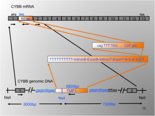 Orientation of the TMF1 insertion in intron 1 of the CyBB gene (below), leading to an extra exon between exons 1 and 2 in the CYBB mRNA (above). Republished with permission from Human Mutation published by Wiley.