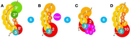 "Schematic diagrams of CRISPR-Cas interference complexes. (A) A Type I-A complex where the Cas3' and Cas3"", but not Cas6, are associated with the interference complex of the crenarchaeon T. tenax [102]. The crRNA is oriented as shown earlier for the genetically modified E. coli Type I-E complex [105]. (B) Type III-B Cmr-α complex of S. islandicus based on published structures of related complexes [46,106]. This complex requires Csx1 for targeting transcripts and transcribing DNA [47,48]. (C) RNA targeting Type III-B Cmr-β complex of S. islandicus, extrapolating from the Type III-B structure of S. solfataricus in [44]. (D) A Type III-D complex of S. solfataricus [99]. Estimated binding regions of crRNAs are colour-coded brown. Subunits of the Type I-A and III-D complexes are assigned Cas protein numbers while Type III-B complexes are given Cmr protein numbers. In (C) 7 denotes non-core protein Cmr7 which forms a pseudo-hexameric structure in the Sulfolobales. In (A) the protein locations indicated for Cas3'/3'' are speculative, while the putative position of a Cas8'' dimer is deduced from the published structure of a Type I-E interference complex [105]."