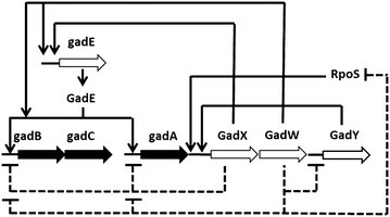 Regulatory network of the glutamate-dependent acid resistance. Modified from Foster, 2004. Large arrows represent genes, small arrows indicate positive control, and dotted lines denote negative control. The genes for the GDS are represented as solid black arrows