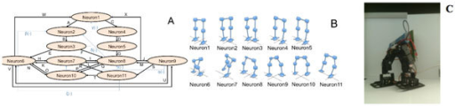 A. Neuronal network including all the required positions for the 4 basic movements and the 30 synapses required between them. B. Positions of the robot for each one of the 11 neurons. C. Biped robot setup.