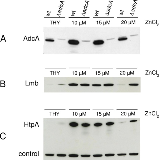 Expression of Lmb and HtpA in ΔadcA mutants.Western blot analysis of total cell extracts from S. pyogenes MGAS5005 wild type and ΔadcA  mutant grown in complete medium (THY) or in zinc-depleted medium (THY + 35 μM TPEN) containing increasing amounts of ZnCl2. (A) Western blot using anti-AdcA specific antibodies. (B) Western blot using anti-Lmb specific antibodies. (C) Western blot using anti-HtpA specific antibodies.