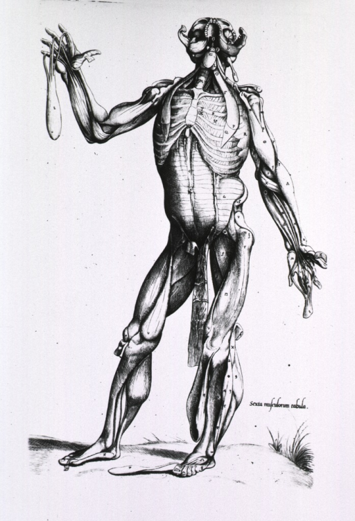 <p>Full length frontal view, standing, of human body with musculature defined; head tilted back for underside view of jaw.</p>