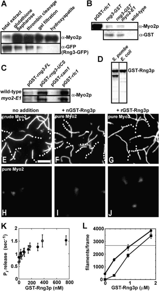 Rng3p stimulates Myo2 activity. (A) Lanes 1–5 show samples from steps in the purification of Myo2 from a strain (MLP 676) containing a chromosomal rng3-GFP3 fusion overexpressing Myo2p from the 41nmt1 promoter and GST-tagged light chains from pGST-cdc4 and pGST-rlc1. Samples were run on an SDS-PAGE gel, immunoblotted and probed with Myo2 heavy chain antibodies (top) and GFP antibodies (bottom). (B) Bead binding assay for interaction of chromosomal Rng3p-GST with Myo2. Strains: FY 435 carrying pGST-rlc1, MLP 694 (rng3-GST), MLP 693 (rng3-GST, myo2-E1), and MLP 695 (wild-type). GST proteins from extracts were affinity purified on glutathione-Sepharose. Bound proteins were separated by SDS-PAGE and analyzed by immunoblotting with antibodies to Myo2p heavy chain (top) and Rng3p-GST (α-GST; bottom). pGST-rlc1, positive control with GST-Rlc1p. wild type, negative control lacking a GST fusion. (C) Bead binding assay for interaction of overexpressed GST-Rng3p (pGST-rng3-FL) and GST-Rng3-UCS domain (pGST-rng3-UCS) with Myo2. Strains: FY 435 (wild-type) and TP 73 (myo2-E1) carrying plasmids pGST-rng3, pGST-rng3-UCS, pGST-cam1, and pGST-rlc1. GST proteins from extracts were affinity purified on glutathione-Sepharose. Bound proteins were separated by SDS-PAGE and analyzed by immunoblotting with antibodies to Myo2p heavy chain. pGST-cam1, negative control with GST-Cam1p. pGST-rlc1, positive control with GST-Rlc1p. (D) GST-Rng3p purified from S. pombe and recombinant GST-Rng3p purified from Escherichia coli. SDS-PAGE gel stained with Coomassie blue. Lower band in the S. pombe lane represents a breakdown product. (E–J) Actin filament gliding assays. Time-lapse fluorescence micrographs of filaments labeled with rhodamine-phalloidin (also, see Videos 1 and 2, available at http://www.jcb.org/cgi/content/full/jcb.200404045/DC1). Trajectories are indicated with white dots marking the trailing end of filaments at 2-s intervals. Bar, 5 μm. Conditions: indicated concentrations of Myo2 and GST-Rng3p were applied to flow cells in 25 mM imidazole, pH 7.4, 25 mM KCl, 4 mM MgCl2, 1 mM ATP, 100 mM DTT, and 10 nM labeled actin filaments. (E) Crude one-step purified Myo2 (0.25 mg/ml impure protein). (F) Three-step–purified 75 nM Myo2 preincubated with 250 nM native S. pombe GST-Rng3p. (G) Three-step–purified 75 nM Myo2 preincubated with 250 nM recombinant GST-Rng3p. (H) Three-step–purified 75 nM Myo2 alone. (I) S. pombe GST-Rng3p (250 nM) alone. (J) recombinant GST-Rng3p (250 nM) alone. (K) Dependence of the actin-activated ATPase activity of three-step–purified Myo2 as a function of the concentrations of native (open circles) and recombinant (closed circles) GST-Rng3p. Conditions: 30 nM Myo2 and 10 μM actin filaments in 2 mM ATP, 3 mM MgCl2, 0.1 mM CaCl2, and 75 mM KCl. Error bars show SD. (L) Dependence of the number of actin filaments captured by two-step–purified Myo2 on the concentration of recombinant GST-Rng3p. All filaments in a 130 μm2 frame of a fluorescence micrograph were counted. (squares) 20 nM two-step–purified Myo2. No gliding was observed in the absence of GST-Rng3p. (circles) 200 nM two-step–purified Myo2. These samples supported gliding in the absence of GST-Rng3p. (horizontal line) 150 nM crude Myo2 purified after overexpression from MLP 374 (3nmt1 promoter-myo2 plus pGST-cdc4 and pGST-rlc1). These samples supported robust gliding.