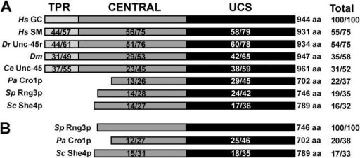 Domain organization and sequence comparisons of UCS proteins. Amino acid sequence comparisons (identities/similarities) were generated from sequence alignments (MacVector 7.1.1). Conservation amongst NH2-terminal tetratricopeptide repeat (TPR) domains (light gray), central regions (gray), and COOH-terminal UCS domains (black) are compared individually. Amino acid sequence length and total conservation are shown on the right for each protein. (A) Comparison of animal and fungal UCS proteins with H. sapiens general cell form (Hs GC; Price et al., 2002), H. sapiens striated muscle form (Hs SM; Price et al., 2002), Danio rerio (Dr Unc45r; zebrafish; Etheridge et al., 2002), D. melanogaster (Dm; GenBank/EMBL/DDBJ accession no. AAK93568), C. elegans (Ce Unc-45; Venolia et al., 1999); P. anserina (Pa Cro1p; Berteaux-Lecellier et al., 1998); S. pombe (Sp Rng3p; Wong et al., 2000); and Saccharomyces cerevisiae (Sc She4p; Jansen et al., 1996). (B) Comparison of fungal UCS proteins with Rng3p.