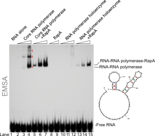 RapA promotes interaction of RNA polymerase with RNA. EMSA gel illustrating the effect of RapA on interaction of the core RNA polymerase (lanes 2–7) or the RNA polymerase holoenzyme (lanes 10–15) with end-labeled 55-nt RNA incorporating stem-loop structures and an rA18 tail. EMSA-binding experiments were carried out as described in Materials and Methods section. Other RNA probes of varied length and structure (see text for details) produced similar binding patterns, indicating a greatly increased RNA-binding affinity of the polymerase in the presence of RapA. Quantitation of the RNA polymerase (holoenzyme)-bound RNA in the presence or absence of RapA (lanes 15 and 12) indicated a >20-fold increase in RNA-binding affinity in the presence of RapA. Note that RapA abolishes the formation of multimeric RNA polymerase–RNA complexes formed by the core RNA polymerase (indicated with arrowheads).