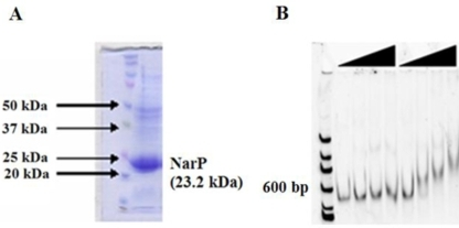 SDS-PAGE of S. oneidensis NarP expressed from the destination vector pTP247.A. Lane 1: protein marker; Lane 2: Soluble protein after lysis of E. coli expressing NarP protein. B. Electrophoretic gel shift assays of NarP and phosphorylated NarP-P. Increasing concentrations (0, 0.65, 1.3, 2.6, and 5 µM) of unphosphorylated NarP and phosphorylated NarP are shown. DNA is stained with CyberGreen. The 100bp ladder was used in the experiments.