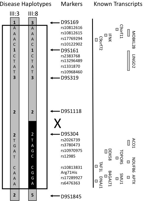 Fine mapping haplotype analysis using microsatellite and SNP markers to resolve the position of a meiotic recombination in pedigree member III:8. Four SNPs from representative genes are indicated (rs10812616, rs10812615, rs17769294 and rs10122902 for C9orf11; rs2383768, rs13296489, rs1331870 and rs10968460 for LINGO2; rs2026739, rs3780473, rs10970975 and rs12985 for ACO1; rs10813831, Arg71His, rs17289927 and rs6476363 for DDX8). The informative SNP haplotypes definitively place the recombination breakpoint between D9S1118 and D9S304. The black box indicates the portion of the disease haplotype which is not shared by pedigree member III:8. Transcript map indicating the relative positions of known genes and transcripts (open boxes) (not drawn to scale).