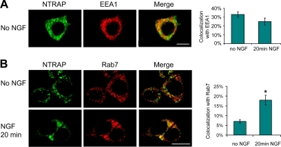 NGF-induced localization of NTRAP in late endosomes. (A) Colocalization of NTRAP with the early endosome marker, EEA1. The graph shows percentage of NTRAP immunoreactivity that was colocalized with EEA1. Scale bar, 10 μm. (B) Colocalization of NTRAP with the late endosome marker, Rab7. PC12 cells were starved for serum overnight and then incubated with/without NGF (100 ng/ml) for 20 min. NGF treatment increased colocalization of NTRAP and Rab7. Scale bar, 10 μm.