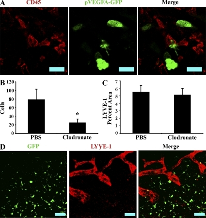 Macrophages are not involved in HSV-1–induced lymphangiogenesis. (A) Mice expressing GFP under the proximal human VEGF-A promoter were infected with HSV-1 and examined for expression of GFP and the pan-leukocyte marker CD45. No colocalization between GFP reporter and CD45 was observed, despite the observation of numerous CD45 cells as well as GFP+ cells, indicating that leukocytes, including macrophages, are not an appreciable source of VEGF-A during HSV-1 infection. Shown is an image of a cornea at day 5 PI representative of two experiments. n = 6. The images were acquired with a 400× objective. Bars, 50 µm. (B) Macrophages were depleted by subconjunctival injection with either clodronate or control PBS containing liposomes. At day 5 PI, corneal F4/80+ macrophages were quantitated by flow cytometry in control and clodronate-treated groups. Clodronate treatment significantly reduced the number of corneal F480+ cells (*, P < 0.05). (C) Corneas were examined for expression of the lymphatic vessel antigen LYVE-1 and quantified as a measure of lymphatic vessel area. No significant differences in lymphatic vessel area or structure (not depicted) were observed between control and clodronate-treated groups. B and C are summaries of two experiments. Error bars represent the SEM based on the results of each cornea sample summarized for both experiments. n = 6. (D) Chimeric mice expressing GFP in bone marrow–derived cells were infected with HSV-1. Corneas were examined for expression of GFP (green) and LYVE-1 (red) to detect possible structural contributions from bone marrow–derived cells. However, no appreciable structural contribution was observed. Data are representative of two experiments. n = 8 animals. Bars, 100 µm.