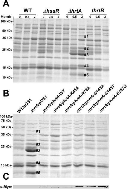 Up-regulation of immunomodulatory proteins is caused by loss of expression of HrtA.(A) Bacterial strains were grown in (0, 0.5 and 2 µM) hemin in RPMI/CAS for 18 hours and proteins in culture supernatants were precipitated using 10% TCA, separated using 15% SDS-PAGE, and stained with Coomassie blue. (B) Exoprotein profiles of wildtype transformed with control plasmid pOS1 and ΔhrtA transformed with control plasmid or plasmids expressing WT HrtA, catalytically inactive HrtA variants (K45A, G145A, G145T, and E167Q) or partially catalytically active HrtA (R76A) [14]. All strains were grown in the presence of 1 µM hemin. Proteins up-regulated under the indicated condition that have been identified previously using mass spectrometry are marked with a #. The predicted identities of the proteins in these bands are as follows; #1 (Exotoxin 8, SACOL0472), #2 (Exotoxin, SACOL0478), #3 (Exotoxin 3 and 5, SACOL0468/0473), #4 (Efb, SACOL1168), and #5 (FLIPr, SACOL1166). Positions of protein molecular mass markers in kilodaltons (kDa) are indicated on the left side of panels A and B. (C) Immunoblot analysis of protoplast lysates of strains analyzed in (B). Proteins were resolved using 15% SDS-PAGE, transferred to nitrocellulose membrane, probed with 9E10 anti-C-Myc monoclonal primary and AlexaFluor-680-conjugated anti-mouse secondary antibodies. Membranes were then dried and scanned using an Odyssey Infrared Imaging System.