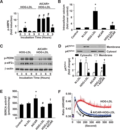 "AMPK activation by AICAR suppresses HOG-LDL–induced ER stress and protects SERCA activity. BAECs were treated with HOG-LDL, with or without AICAR preincubation (1 mmol/l, 30 min). A: AICAR increases AMPK phosphorylation at Thr172 in BAECs. n = 3. *P < 0.05 HOG-LDL-3 h vs. 0 h control; #P < 0.01 AICAR+HOG-LDL vs. HOG-LDL alone at times indicated. B: AICAR suppresses the rise of intracellular [Ca2+]i in BAECs at 6 h. n = 3. *P < 0.05 HOG-LDL vs. control or N-LDL; #P < 0.05 HOG-LDL+AICAR vs. HOG-LDL alone. C: AICAR suppresses HOG-LDL–induced ER stress in BAECs. n = 4. D: AICAR pretreatment inhibited NADPH oxidase activation by blocking p47 translocation. n = 3. *P < 0.05 HOG-LDL vs. N-LDL in cytosol and membrane portion; # and † indicate P < 0.05 AICAR pretreatment completely blocked p47 translocation by HOG-LDL in cytosol and membrane, respectively. E: AICAR protects SERCA activity under HOG-LDL treatment. n = 4. *P < 0.05 AICAR treatment vs. N-LDL or control samples; #P < 0.05 HOG-LDL vs. N-LDL or control; †P < 0.05 AICAR+HOG-LDL vs. HOG-LDL alone. F: Ratiometric measurement of intracellular Ca2+. BAECs were treated with 100 μg/ml N-LDL, 100 μg/ml HOG-LDL, and AICAR (pretreated for 30 min)+HOG-LDL for 6 h. Ratiometric measurement of intracellular Ca2+ was done as described in the ""Research Design and Methods"" section. The small arrows indicate the timing for cytosolic Ca2+ return to its homeostasis. n = 6."