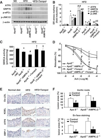 "Inhibition of SERCA oxidation by antioxidant Tempol reduced ER stress and atherosclerosis in vivo. A and B: Supplement of antioxidant Tempol significantly reduced ER stress. ApoE−/− and ApoE−/−/AMPKα2−/− mice exhibited ER stress when fed with HFD compared with ApoE−/− mice fed with normal diet (ND) or HFD, as described in the ""Research Design and Methods"" section. n = 5. *P < 0.05 ApoE−/− with HFD vs. ApoE−/− with ND; #P < 0.05 ApoE−/−/AMPKα2−/− with HFD vs. ApoE−/− with HFD; †P < 0.05 ApoE−/− with HFD vs. Tempol-treated ApoE−/− with HFD; ‡P < 0.05 ApoE−/−/AMPKα2−/− plus HFD vs. Tempol-treated ApoE−/−/AMPKα2−/− with HFD. C: Tempol supplementation protects aortic SERCA activity in vivo. n = 5. *P < 0.05 ApoE−/− with HFD vs. ApoE−/− with ND; #P < 0.05 ApoE−/−/AMPKα2−/− with HFD vs. ApoE−/− with HFD; †P < 0.05 ApoE−/− with HFD vs. Tempol-treated ApoE−/− with HFD; ‡P < 0.05 ApoE−/−/AMPKα2−/−/HFD vs. Tempol-treated ApoE−/−/AMPKα2−/− with HFD. D: Tempol supplement ablates HFD-induced reduction of acetylcholine-induced endothelium-dependent vasorelaxation in isolated mouse aortae from ApoE−/−/AMPKα2−/− with HFD vs. ApoE−/− with HFD. *P < 0.05 ApoE−/− with HFD vs. Tempol-treated ApoE−/− with HFD; #P < 0.05 ApoE−/−/AMPKα2−/− vs. Tempol-treated ApoE−/−/AMPKα2−/− with HFD. E: Tempol administration reduces ox-LDL, ER stress, and aortic lesion progression in ApoE−/− mice detected by immunostaining; n ≥ 4 in each group. F: Tempol administration inhibits aortic lesions in aortic roots and aortic arches (en face staining); n ≥ 5 in each group. # and ‡ indicate P < 0.05 Tempol treatment vs. control in each group; †P < 0.05 ApoE−/−/AMPKα2−/− vs. ApoE−/− in each group. (A high-quality digital representation of this figure is available in the online issue.)"