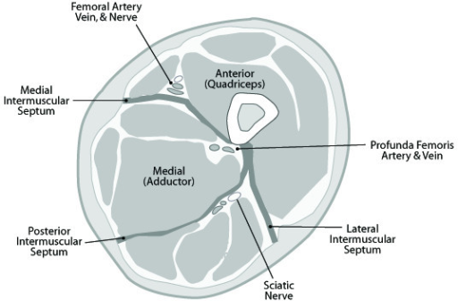 Cross-sectional anatomy of the thigh, demonstrating the | Open-i