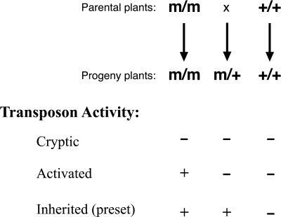 "Inheritance of Transposon ActivityPollen from homozygous mutant plants (m/m) was crossed onto WT (+/+) to generate backcrossed BC heterozygous seed (m/+). The parents were also self-pollinated as a control. Each class of progeny was then tested for expression of transposon mRNA, loss of DNA methylation, and changes in histone H3 methylation. Accumulation of transposon mRNA (+) or lack thereof (−) in each progeny genotype was used to determine whether the elements were silent (""cryptic""), reversibly activated, or heritably activated (""preset"")."