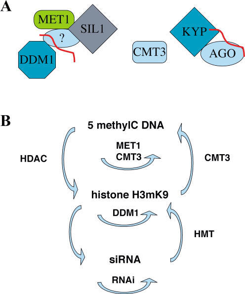 Model of Transposon Silencing Complexes(A) DDM1, MET1, and SIL1 are all required for transposon silencing and may interact. MET1 and DDM1 are also required for siRNA accumulation (shown in red). AGO and KYP have similar effects on transposon activation and may also interact. They impact DNA methylation via CMT3 (Cao and Jacobsen 2002; Jackson et al. 2002).(B) siRNA, histone H3 methylation, and DNA methylation interact to silence transposons. Silencing is maintained by the MET1/DDM1/SIL1 complex. A possible network is shown.
