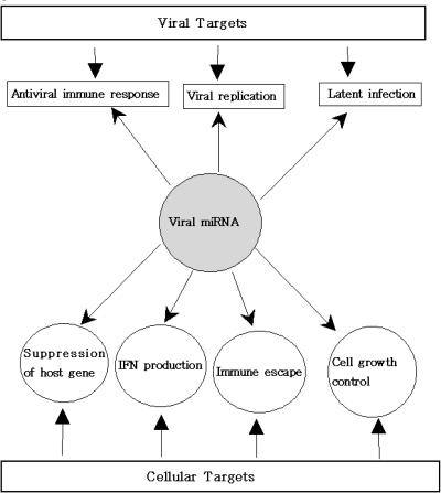"Possible functions of viral miRNAs. Many viruses have been found to encode miRNAs that regulate both viral and host mRNA. miRNAs encoded in the viral genome have the potential to reshape the cellular environment to maximize viral replication. miRNAs could contribute to the maintenance and/or establishment of viral latent infection by protecting infected cells from undergoing apoptosis. miRNAs probably interfere with the host immune response, including antigen presentation and the IFN system. Viral miRNAS can suppress host cell gene involved in antiviral immunity and can control cell growth. IFN-β production (""cytokine storm"") can induce and/or modulate expression of numerous cellular miRNAs. Cellular miRNAs influence the replication of virus and antiviral activity may be mediated by IFN through cellular miRNAs."