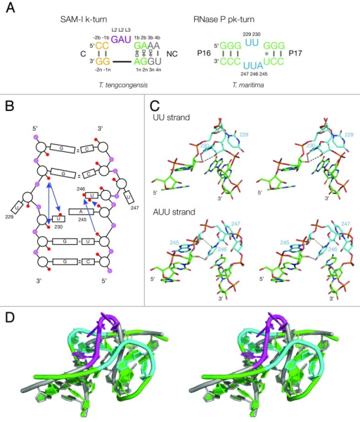 Figure 1 Sequences Of Pk And K Turn Motifs In Rna A Open I