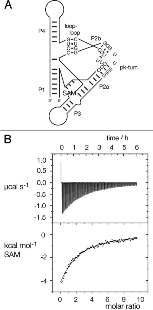 Figure 4. Replacement of the SAM-I riboswitch k-turn with the pk-turn. (A) A scheme shows the secondary structure and tertiary interaction of the SAM-I riboswitch, with the SAM-binding site indicated. The natural k-turn has been replaced by the pk turn in this structure. (B) Plots showing the results of microcalorimetric analysis of ligand binding to the SAM-I riboswitch containing the pk-turn. The upper panel shows the raw data for sequential injections of 2 µl volumes of a 5 µM solution of SAM into a 1.4 ml volume of 96 µM RNA solution in 50 mM HEPES (pH 7.5), 100 mM KCl, 10 mM MgCl2. This represents the differential of the total heat evolved for each SAM concentration (i.e., ∆H°). The lower panel presents the integrated heat data fitted to a single-site binding model (Eq. 1).