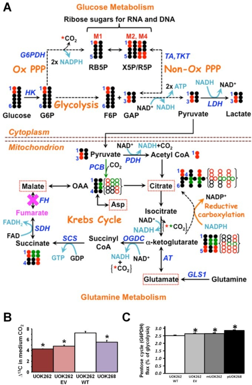 an analysis of the production of atp through glycolysis in the mitochondria Atp is generated from adp and phosphate ions by a complex set of processes occurring in the cell these processes depend on the activities of a special group of atp production.