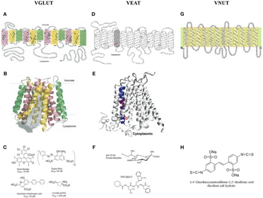 A two and three dimensional molecular structure of the members of the SLC17 family. (A,B) The vesicular glutamate transporter 1 (VGLUT1) (Almqvist et al., 2007), (D,E) the vesicular excitatory amino acid transporter (VEAT) (Courville et al., 2010) and (G) the vesicular nucleotide transporter (VNUT) (Sawada et al., 2008). (C) The different families of VGLUT modulators (Pietrancosta et al., 2010). (F) The most bioactive analog of sialic acid: per-O-Ac,9-iodo-Neu5Ac and the novel VEAT ligand identified by virtual high-throughput screening: FR139317 (Pietrancosta et al., 2012). (H) 4,4′-diisothiocyanatostilbene-2,2′-disulfonate, the only known inhibitor of ATP transport in vitro.