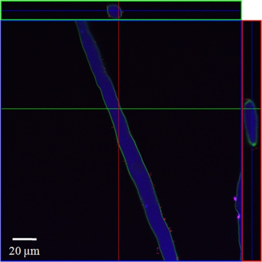 CLSM image of a spinach root hair. The plant seedling was inoculated for 1 h with S. enterica sv. Weltevreden at an inoculation density of 4 × 106 CFU/ml. The plant was harvested after 3 weeks of growth in an axenic system. Probe Cy3 marked EUB-338, I, II, III was applied during FISH procedure (red signal).