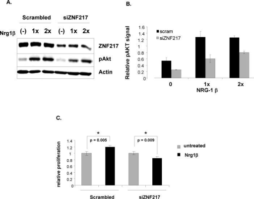 ZNF217 depletion suppresses ErbB3-mediated downstream signaling(A) ZR75-1 cells were transiently transfected with either scramble control or ZNF217-specific siRNA. 48 hours after transfection, cells were serum starved overnight and then treated with two different concentrations of Neuregulin1βfor twenty minutes. Lysates were prepared and blotted for ZNF217, p-AKT and actin (loading control). A representative western blot is shown. (B) Densitometric analysis of phospho Akt signal from three independent experiments. p < 0.01 for all comparisons between scramble and siZNF217. (C) Cell viability was determined in ZR75-1 cells transiently transfected with either scramble control or ZNF217-specific siRNA. 48 hours after transfection, cells were serum-starved overnight followed by treatment with Neuregulin1β for an additional 48h. Proliferation of cells at 96h post-transfection was measured by MTT assay.