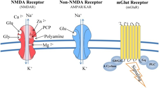 Glutamate receptors: structure and function. NMDARs bind glutamate, glycine, Mg2+, Zn2+, and polyamines. Composed from seven subunits (one NR1, four NR2, and two NR3), their function is determined by the combination of NR1 and NR2 subunits. NMDARs form channels that are more permeable to Ca2+ than Na+ and K+. Kainate and AMPA receptors interact only with glutamate and their specific agonists, and their associated channels are more permeable to Na+ and K+ than Ca2+. mGluRs are G-protein coupled receptors and trigger a second messenger cascade. They are found both at the pre- and post-synaptic neurons, subunits of metabotropic receptors are also expressed in microglia.