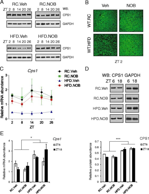 NOB modulates Cps1 mRNA and protein expression. a Total protein extracts were prepared from liver samples collected from the four diet/treatment groups of wild-type mice at the indicated circadian time points (n = 3). Western blotting analysis was performed using anti-CPS1 antibody. RC regular chow, HFD high-fat diet, Veh vehicle, NOB Nobiletin. The results shown are representative of three independent experiments. See Additional file 1: Figure S1A for quantitative analysis. b Immunohistochemical staining of CPS1 in liver sections from mice with the indicated diet and treatment at ZT2. c Real-time RT-PCR analysis of Cps1 in liver samples collected as in (a). Data are presented as mean ± SEM (n = 3). Two-way ANOVA with Bonferroni post-hoc tests shows significant statistical differences between HFD.Veh and other three groups (p < 0.0001). d Western blotting analysis of protein lysates of liver samples collected at ZT 6 and 18 from mice with the indicated diet and treatment (n = 3). HPD indicates high-protein diet. The images shown to the left are representative of three independent experiments. Quantitation of Western blots was carried out and the results, presented as mean ± SEM, are shown in the lower panel. Two-way ANOVA with Bonferroni post-hoc tests, RC vs. HPD, ***p < 0.001. e Real-time qPCR analysis was carried out using total RNAs extracted from the liver samples described in (d). The results are presented as mean ± SEM. Two-way ANOVA with Bonferroni post-hoc tests, RC vs. HPD, *p < 0.05