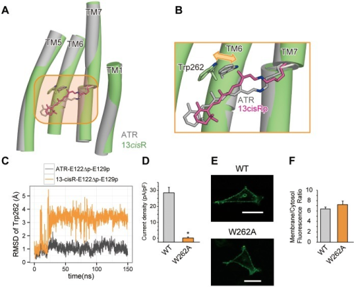 The conformational change in Trp262 upon retinal isomerization.(A) Structural comparison between the snapshots from the ATR-bound (grey) and 13-cisR-bound (green) simulations. (B) Magnified view of retinal and Trp262, from the orange-highlighted region in the left panel. Double arrows indicate the possible motions of Trp262. (C) The RMSD values of the Trp262 atoms, relative to those of the crystal structure. (D) The peak amplitudes of the photocurrents, normalized by the cell's input capacitance. (E) Conforcal images of representative HEK293 cells expressing the C1C2 WT and W262A mutants. Scale bar represents 30 μm. (F) The expression level of W262A mutant measured by the membrane/cytosol ratio of GFP fluorescence. The error bars represent s.e.m. of 3 experiments (n = 5–17 cells). * p < 0.05.