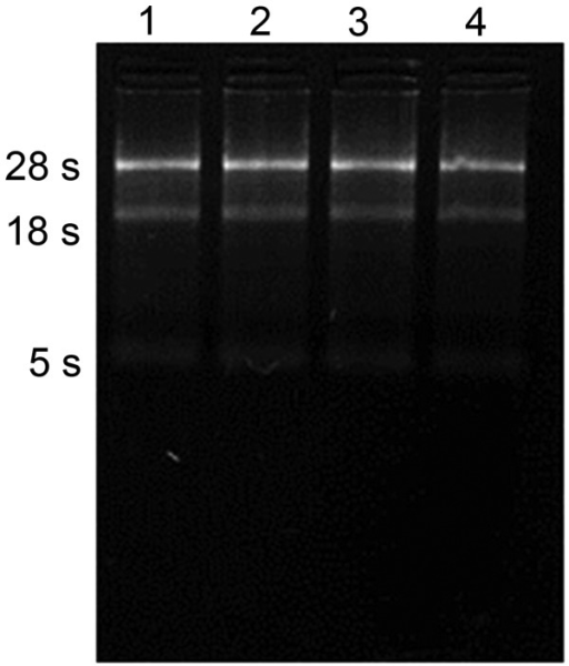 Electrophoretic analysis of total RNA indicating 28S and 18S units. Lanes 1 and 2 show samples from six-month-old cattle and lanes 3 and 4 show samples from 24 month-old cattle.