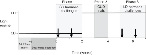 Schematic representation of the experiment. The change in photoperiod regime is indicated by the solid line, and the arrows show the timing of the experimental challenges. We first measured daily ad libitum food consumption of each bird, then food restricted half of the birds for the remainder of the experiment by giving them 70% of daily ad libitum consumption per day, resulting in a 15% body mass decrease. The experimental challenges began at time 0. SD hormone challenges consisted of measuring the plasma testosterone response to both GnRH and LH during short days (10 h light:14 h dark), and LD hormone challenges consisted of measuring this response during long days (16 h light:8 h dark). Giving-up-density (GUD) was measured as birds were transferred to long days.