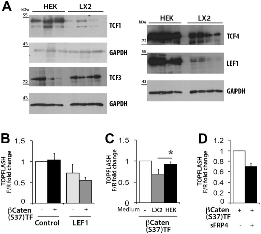 Expression of TCF/LEF transcription factors appears reduced in LX-2 cells.(A) Western Blot for TCF1, TCF3, TCF4 and LEF1in separate samples of LX-2 and HEK293 cells (B) TOPFLASH assay in HEK293 cells after 24hours incubation with conditioned medium from either HEK293 or LX-2 cells, (n = 4). (C) TOPFLASH assay in LX-2 cells overexpressing LEF1 and Ser37-βcatenin (n = 3) (D) TOPFLASH assay in HEK293 cells overexpressing Ser37-βCatenin or Ser37-βCatenin and sFRP4, (n = 3). Luciferase results represented as fold change of Firefly to Renilla *p<0.05 (Student's t-test).