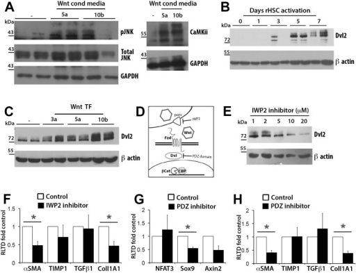HSCs upregulated non-canonical effectors upon Wnt stimulus.(A) Western blot for total (T) and phosphorylated (P) forms of JNK and CamKii in two preparations of rat aHSCs treated for 24 hours with either control (-), Wnt5a or Wnt10b conditioned media. (B) Western blot for Dvl2 in two preparations of rat HSCs at 0,4,6,8 and 10 days in culture. (C) Western Blot for Dvl2 in LX-2 cells overexpressing Wnt3a, Wnt5a or Wnt10b. (D) Diagram illustrating points in Wnt pathway for which inhibitors were chosen: Wnt secretion (IWP2) and Dvl-PDZ domain function (Dvl-PDZ). (E) Western Blot for Dvl2 in rat HSCs treated with 1–20 μM of IWP2 (F) qRT-PCR for profibrotic markers in vehicle control (DMSO) and 20μM IWP2 treated rat aHSCs, (n = 4). (G)qRT-PCR for NFAT3, Sox9 and Axin2 in vehicle control (DMSO) and 5μM PDZ-Inhibitor treated rat aHSCs, (n = 3) (H) qRT-PCR for profibrotic markers in vehicle control and 5μM PDZ-Inhibitor treated rat aHSCs (n = 3). qRT-PCR results expressed as fold change normalised to control ± SEM *p<0.05 (Student's t-test).