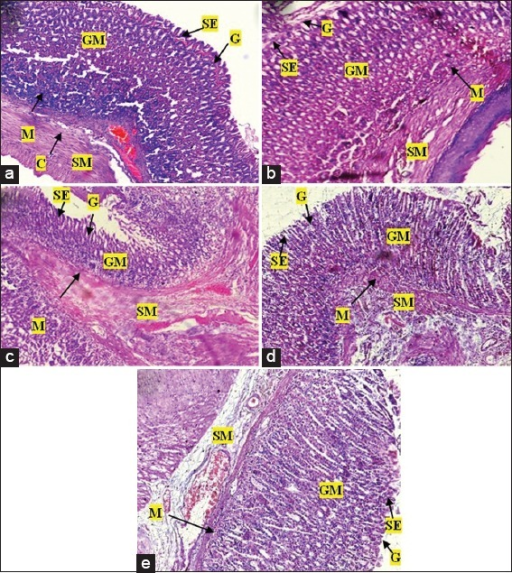Photomicrographs of the stomach of Sprague-Dawley rats after treatment with various doses of Pseudocedrela kotschyi and Adenia cissampeloides extract. (a) Control showed normal architecture, intact gastric mucosa (GM), sub mucosa (SM), gastric pits (G) and surface epithelium (SE), and collagen fibres (C); (b) 250 mg/kg PAE treatment showed normal stomach architecture with no signs of erosion of epithelium or changes in gastric pits, intact mucosa and sub mucosa; (c) 500 mg/kg PAE treatment revealing normal stomach architecture with even distribution of cells and gastric pits. Intact epithelium, mucosa and sub mucosa; (d) 1000 mg/kg PAE treatment showed normal architecture with no superficial erosion. Gastric pits appeared normal with no unusual increase in depth or spacing, (e) 2000 mg/kg PAE treatment showed normal architecture with even distribution of cellular components and gastric pits, no visible signs of erosion of epithelium or changes in mucosa and sub mucosa. H and E staining, Objective magnification: ×10