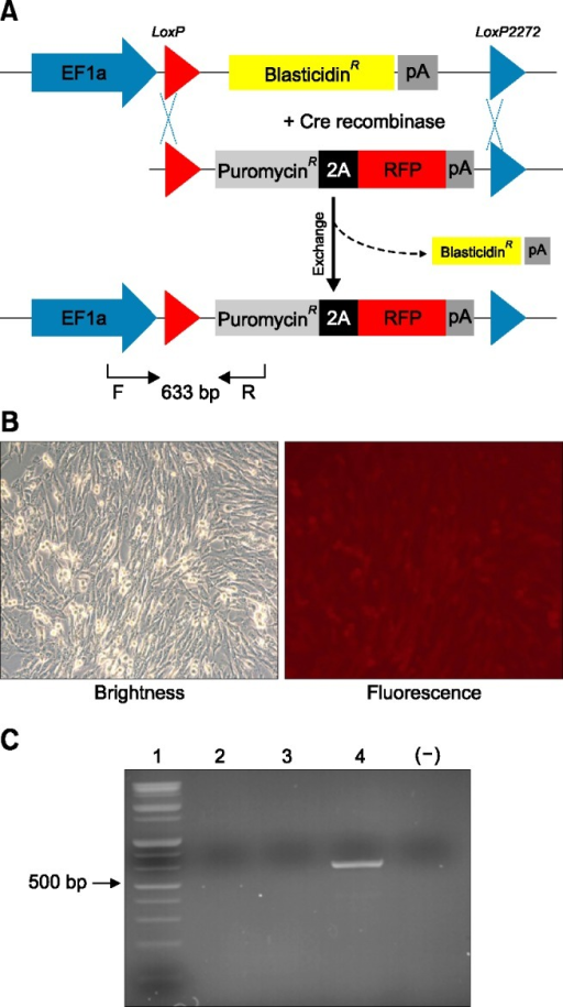 Gene expression by cassette exchange via cyclic recombinase (Cre). (A) Floxed blasticidin-resistant gene by loxP and lox2272 were integrated into porcine cells. (B) Donor DNA (puromycin-linked RFP gene) and Cre recombinase were co-transfected and blasticidin gene was then exchanged. (C) Genomic polymerase chain reaction (PCR) on recombinant target genes confirmed cassette exchange by Cre recombinase. 1, DNA ladder; 2, wild type cells; 3, blasticidin integrated cells; 4, cassette exchanged cells; (−), negative control.