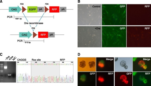 Dre-rox recombination in porcine cells and embryos. (A) DNA construction and PCR-detection regions. (B) With or without Dre recombinase transfection in porcine skin fibroblasts — upper without Dre, lower with Dre. (C) Validation of DNA excision by PCR. (D) Target gene expression by Dre recombinase injection into the cloned embryos from donor cells with transfection.