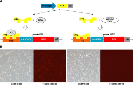 Conditional gene expression with or without doxycycline. (A) Illustration of Tet-on gene expression by doxycycline. (B) RFP expression (left; with doxycycline) and non-expression (right; without doxycyline) in porcine fibroblasts after transfection of tet-on RFP vector.
