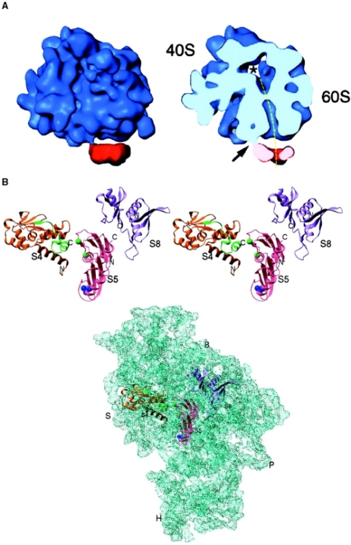 A, Alignment of the nascent polypeptide tunnel and translocation pore of the Sec61 complex. Cryo-EM was used to visualize the interaction of a solubilized membrane protein, intractable to crystallization, with the ribosome. The complexes were reconstituted in vitro using purified yeast ribosomes and Sec61 complex solubilized from ER with detergent. The path followed by the nascent polypeptide as it exits the ribosome and crosses the ER can be traced in the transverse section (dashed line). The 40S and 60S subunits of the ribosome are labeled. Modified after Beckmann et al. 1997. B, Atomic resolution structures for components of a macromolecular complex, such as the ribosome, can be fitted into a lower resolution map of the entire complex (derived from either X-ray or cryo-EM), and their detailed interactions can be interpreted. The ribosomal proteins S4, S5, and S8 have been crystallized, and their structures resolved at atomic resolution. The crystal structures are shown fitted to the 5.5 Å X-ray map of the 30S ribosomal subunit from Thermus thermophilus. B, Ribosomal body landmark; S, ribosomal shoulder landmark; H, ribosomal head landmark; and P, ribosomal platform landmark. Modified after Clemons et al. 1999.