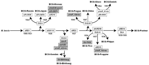 Refined genealogy of BCG vaccines. The genealogy is modified from a previous model [24]. Genetic markers identified in this work are highlighted.